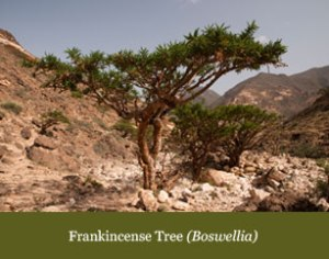 frankincense_tree_boswellia