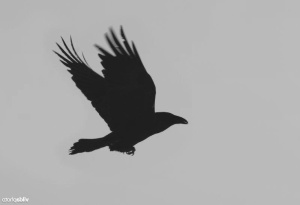 raven-flying-3
