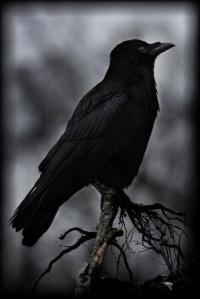 raven-on-limb